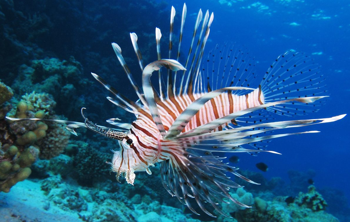 09192016-lionfish