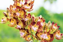 The islands are full of rare beauty, including Encyclia caicensis, orchids, native solely to Turks & Caicos.